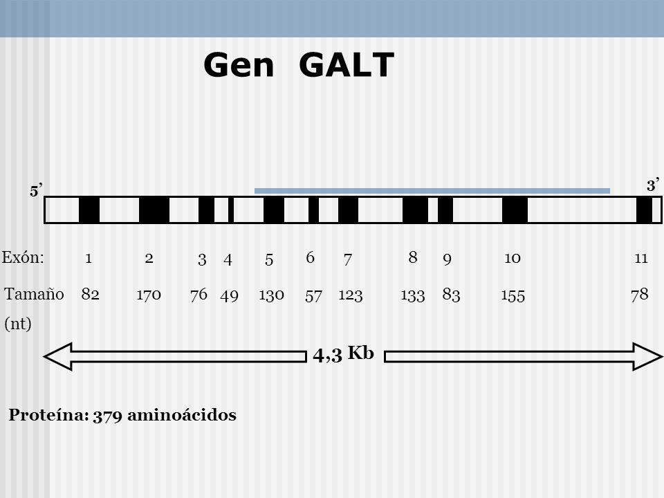 Exón: 1 2 3 4 5 6 7 8 9 10 11 Tamaño 82 170 76 49 130 57 123 133 83 155 78 (nt) 5 3 4,3 Kb Proteína: 379 aminoácidos Gen GALT