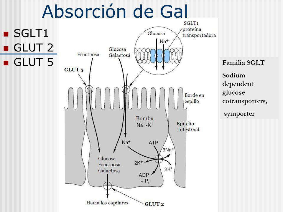 Absorción de Gal SGLT1 GLUT 2 GLUT 5 Familia SGLT Sodium- dependent glucose cotransporters, symporter
