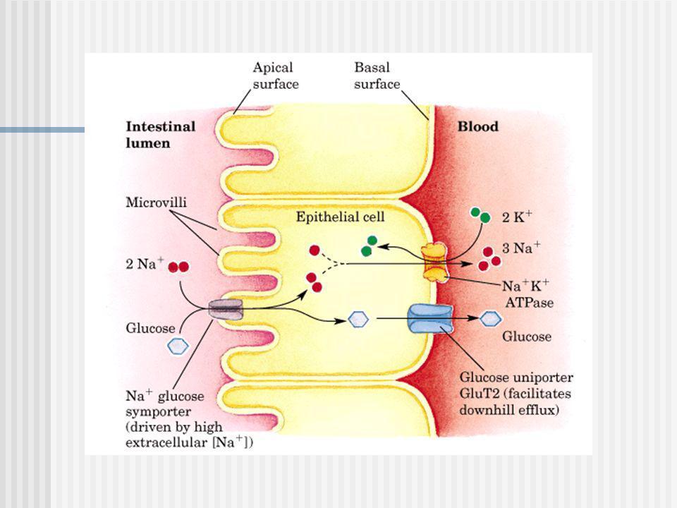 Patogenia II El déficit GALT se produce un aumento de Gal-1-P eritrocitaria y de la galactosa plasmática con la consiguiente galactosuria La galactosa en exceso en el plasma es convertida en galactonato, y en galactitol.