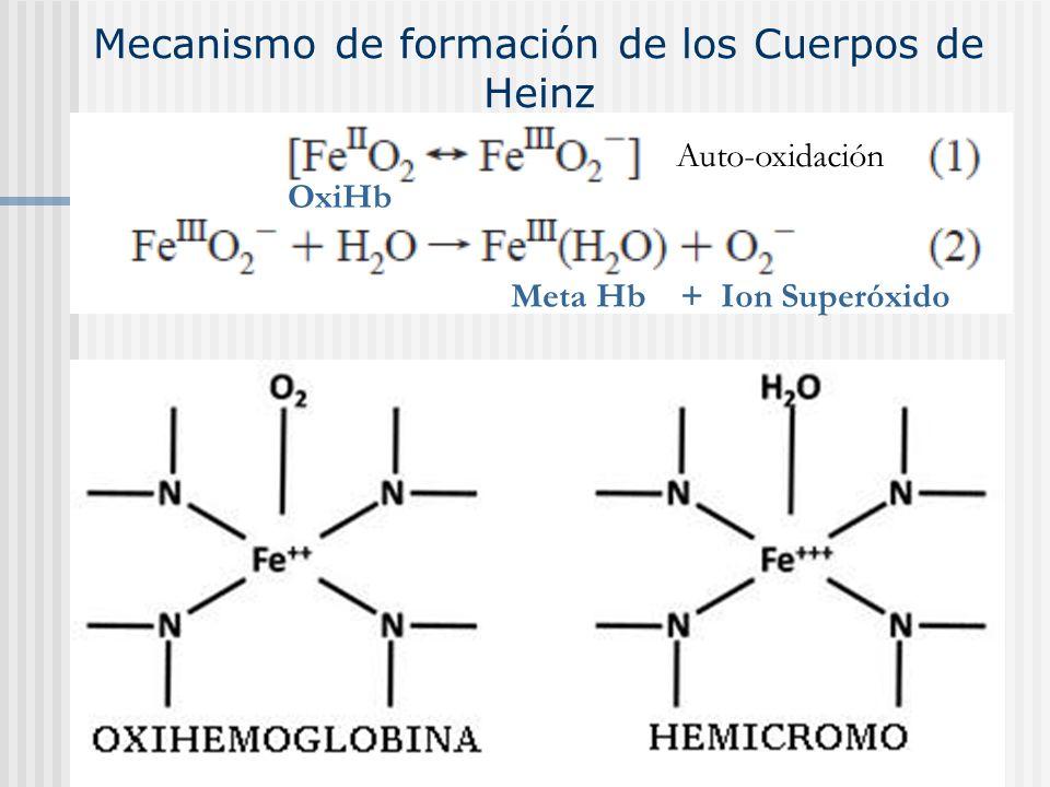 Mecanismo de formación de los Cuerpos de Heinz Meta Hb + Ion Superóxido OxiHb Auto-oxidación