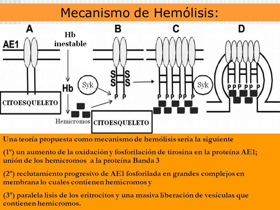 Mecanismo de Hemólisis: Una teoría propuesta como mecanismo de hemólisis seria la siguiente (1º) un aumento de la oxidación y fosforilación de tirosina en la proteína AE1; unión de los hemicromos a la proteína Banda 3 (2º) reclutamiento progresivo de AE1 fosforilada en grandes complejos en membrana lo cuales contienen hemicromos y (3º) paralela lisis de los eritrocitos y una masiva liberación de vesículas que contienen hemicromos.