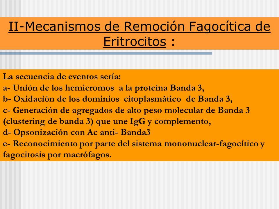 II-Mecanismos de Remoción Fagocítica de Eritrocitos : La secuencia de eventos sería: a- Unión de los hemicromos a la proteína Banda 3, b- Oxidación de