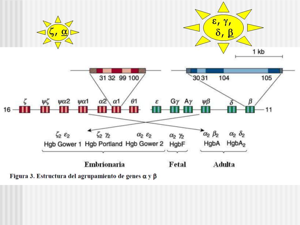 Síntesis de cadenas de globina % en embrión, feto y lactante