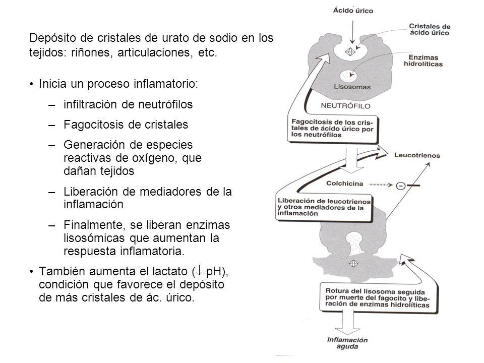 Depósito de cristales de urato de sodio en los tejidos: riñones, articulaciones, etc. Inicia un proceso inflamatorio: –infiltración de neutrófilos –Fa