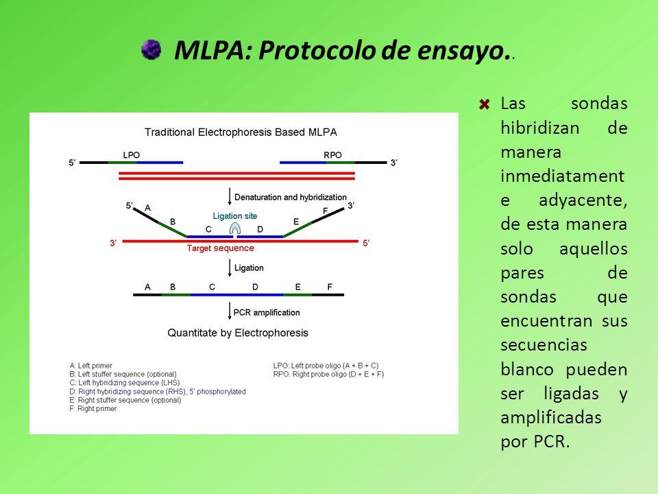 MLPA: Protocolo de ensayo.. Las sondas hibridizan de manera inmediatament e adyacente, de esta manera solo aquellos pares de sondas que encuentran sus