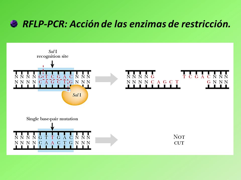 RFLP-PCR: Acción de las enzimas de restricción.