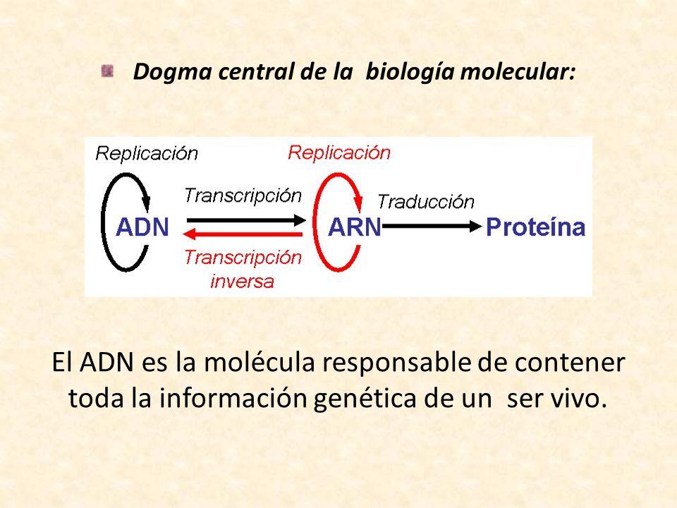 Dogma central de la biología molecular: El ADN es la molécula responsable de contener toda la información genética de un ser vivo.