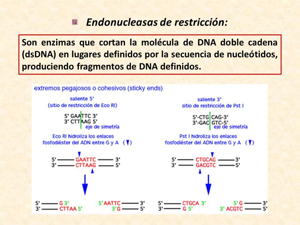 Endonucleasas de restricción: Son enzimas que cortan la molécula de DNA doble cadena (dsDNA) en lugares definidos por la secuencia de nucleótidos, pro