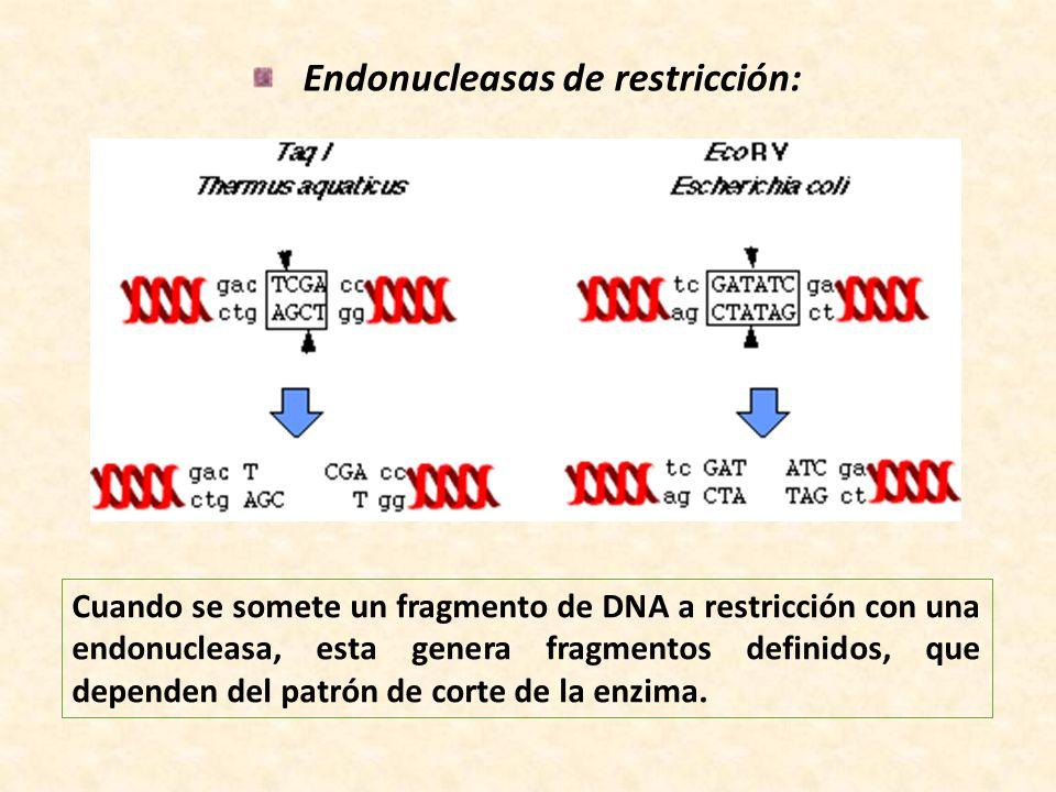 Endonucleasas de restricción: Cuando se somete un fragmento de DNA a restricción con una endonucleasa, esta genera fragmentos definidos, que dependen