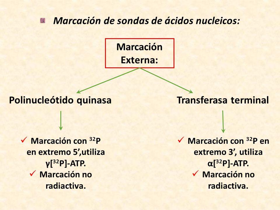 Marcación de sondas de ácidos nucleicos: Polinucleótido quinasa Marcación Externa: Marcación con 32 P en extremo 5,utiliza γ[ 32 P]-ATP. Marcación no