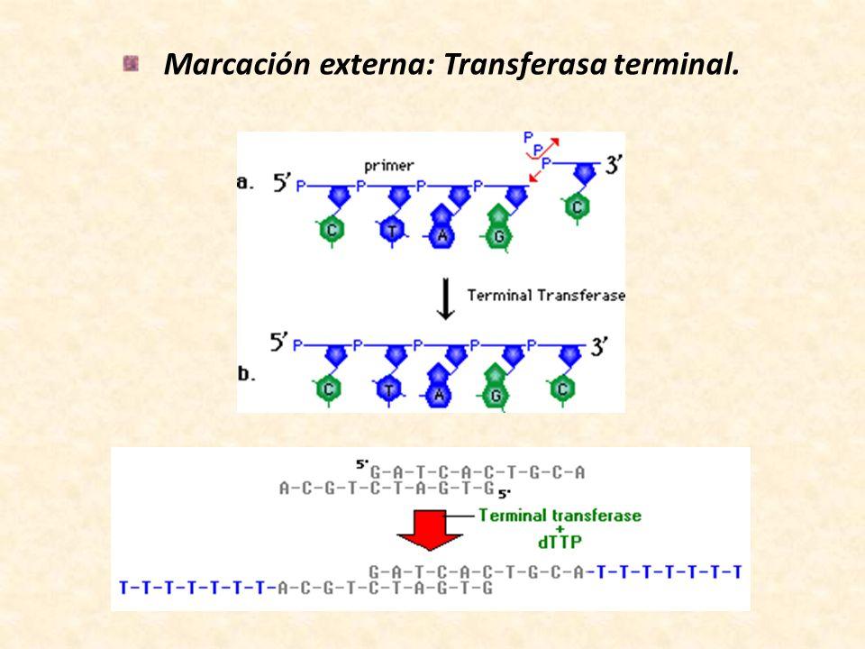 Marcación externa: Transferasa terminal.