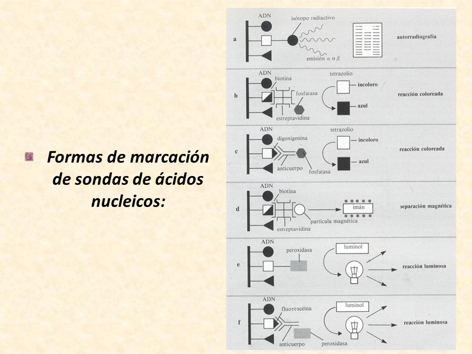 Formas de marcación de sondas de ácidos nucleicos: