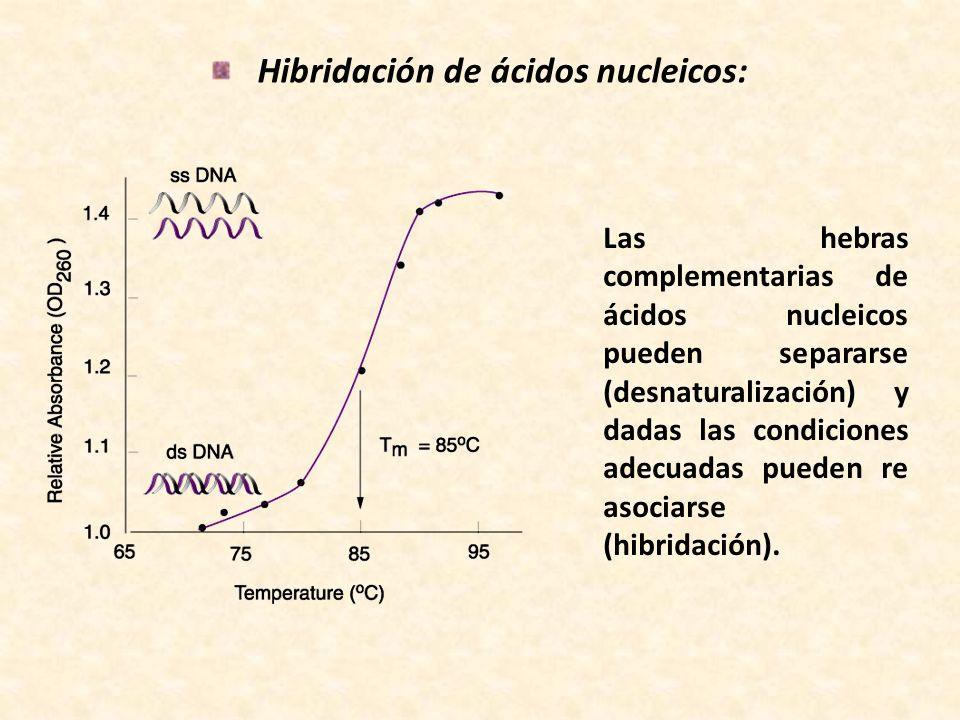 Hibridación de ácidos nucleicos: Las hebras complementarias de ácidos nucleicos pueden separarse (desnaturalización) y dadas las condiciones adecuadas