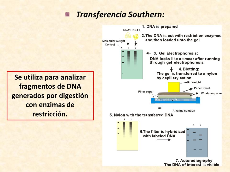 Transferencia Southern: Se utiliza para analizar fragmentos de DNA generados por digestión con enzimas de restricción.