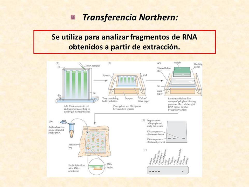 Transferencia Northern: Se utiliza para analizar fragmentos de RNA obtenidos a partir de extracción.