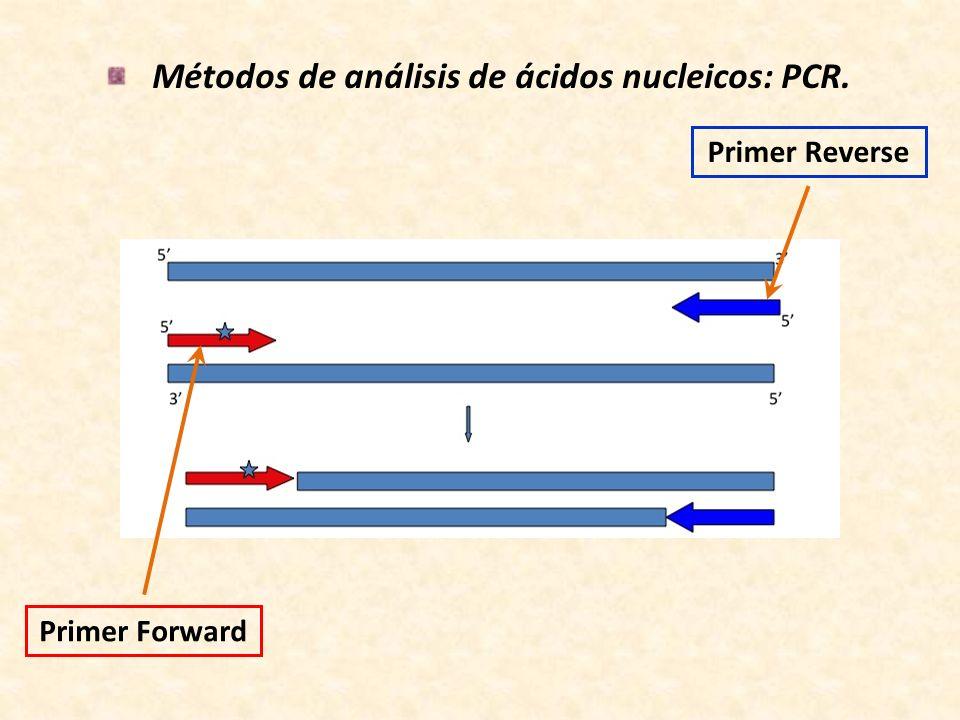 Métodos de análisis de ácidos nucleicos: PCR. Primer Forward Primer Reverse