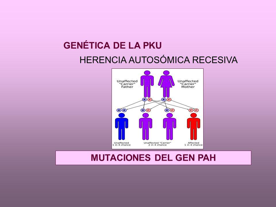 Gen de la PAH en cromosoma 12 clonado e identificado en humanos en 1983 Existen más de 400 mutaciones descritas - Algunas de novo en España Espectros mutacionales distintos según raza y población