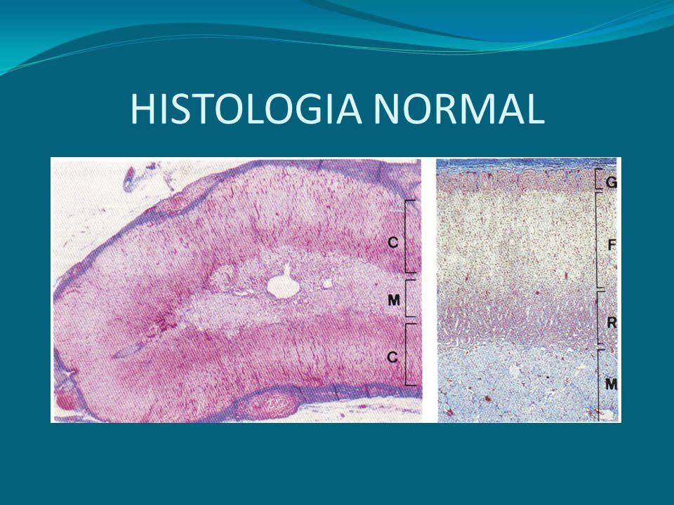 MineralocorticoidesGlucocorticoides Esteroides sexuales Zona glomerulosa Zona fasciculada Zona reticular