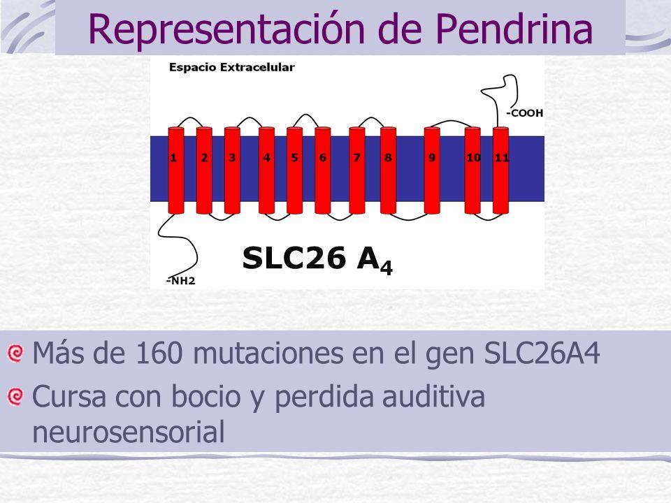Representación de Pendrina Más de 160 mutaciones en el gen SLC26A4 Cursa con bocio y perdida auditiva neurosensorial SLC26 A 4