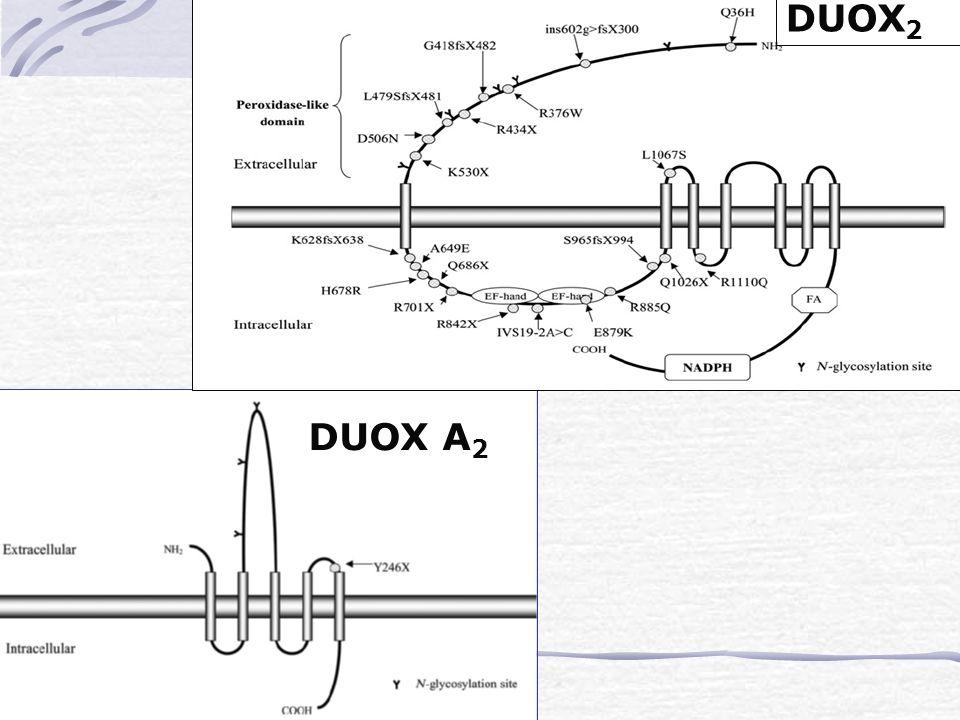 DUOX A 2 DUOX 2