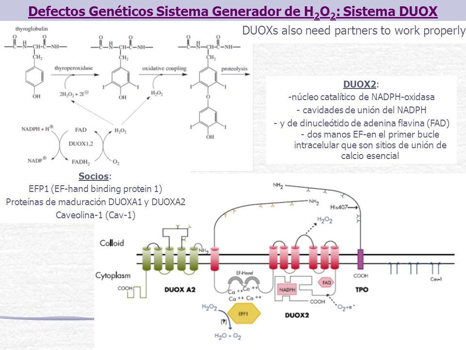 Defectos Genéticos Sistema Generador de H 2 O 2 : Sistema DUOX DUOXs also need partners to work properly Socios: EFP1 (EF-hand binding protein 1) Prot
