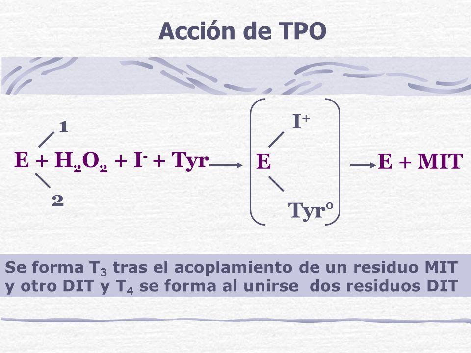 E + H 2 O 2 + I - + Tyr EE + MIT 1 2 I+I+ Tyr° Acción de TPO Se forma T 3 tras el acoplamiento de un residuo MIT y otro DIT y T 4 se forma al unirse d