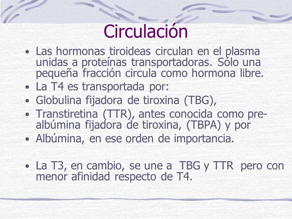 Circulación Las hormonas tiroideas circulan en el plasma unidas a proteínas transportadoras. Sólo una pequeña fracción circula como hormona libre. La