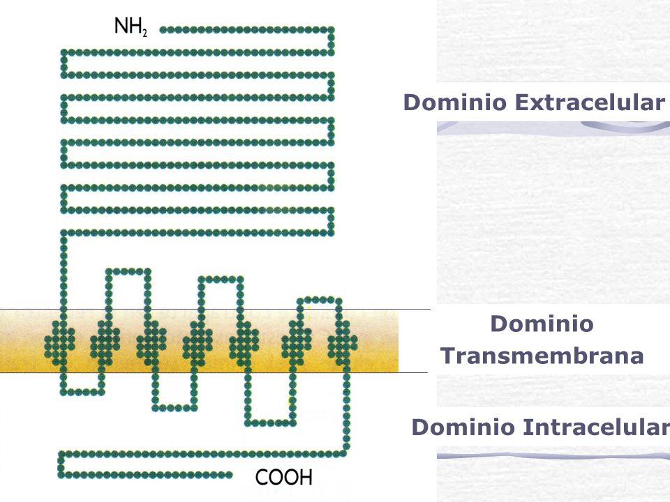 Dominio Extracelular Dominio Transmembrana Dominio Intracelular
