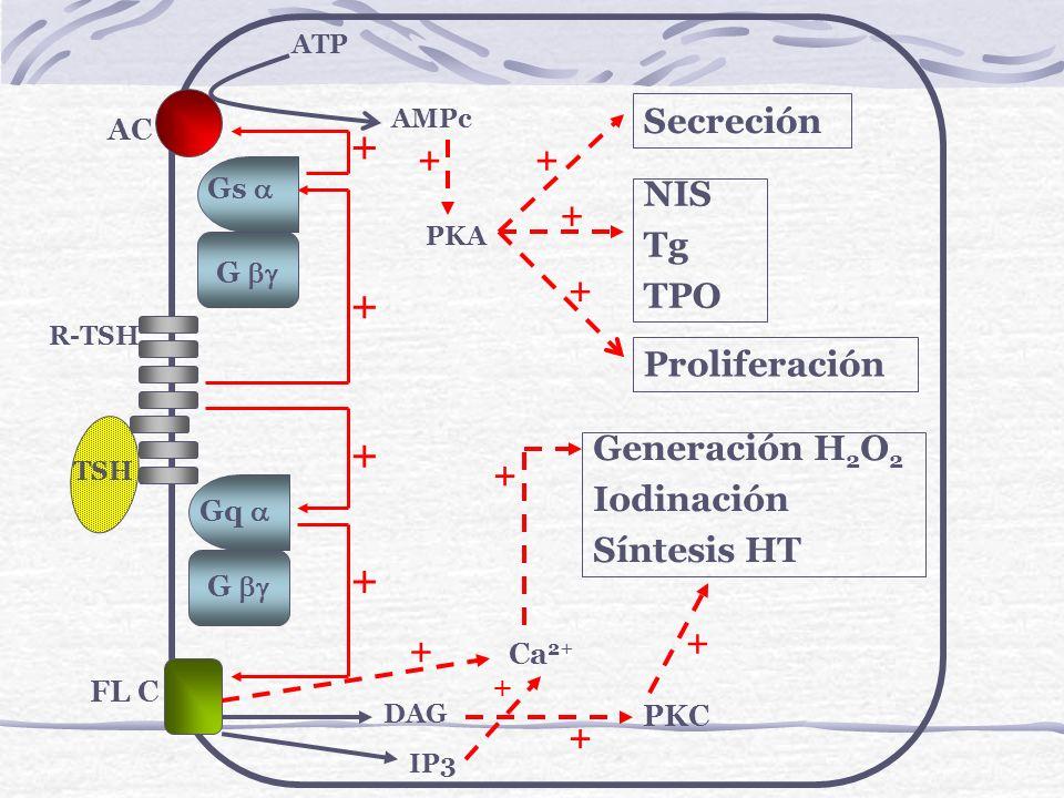Gq G Gs G AC ATP AMPc PKA Secreción NIS Tg TPO Proliferación FL C TSH R-TSH DAG Ca 2+ PKC Generación H 2 O 2 Iodinación Síntesis HT IP3 + + + + ++ + +
