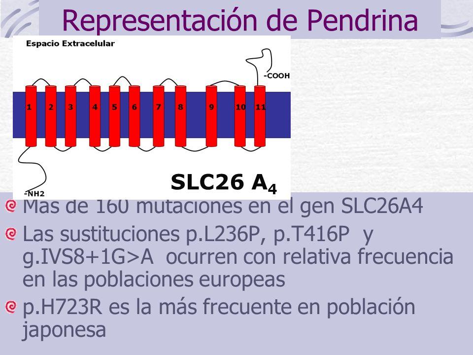 Representación de Pendrina Más de 160 mutaciones en el gen SLC26A4 Las sustituciones p.L236P, p.T416P y g.IVS8+1G>A ocurren con relativa frecuencia en