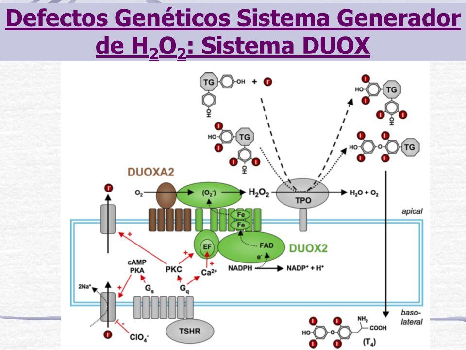 Defectos Genéticos Sistema Generador de H 2 O 2 : Sistema DUOX