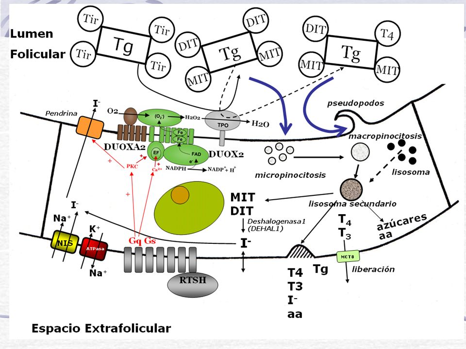 Biosíntesis: Pasos Captación de Yoduro por las células foliculares Formación de H 2 O 2 Organificación Acoplamiento de MIT y DIT para formar HT Deposito y almacenamiento de la Tg yodada en el lumen