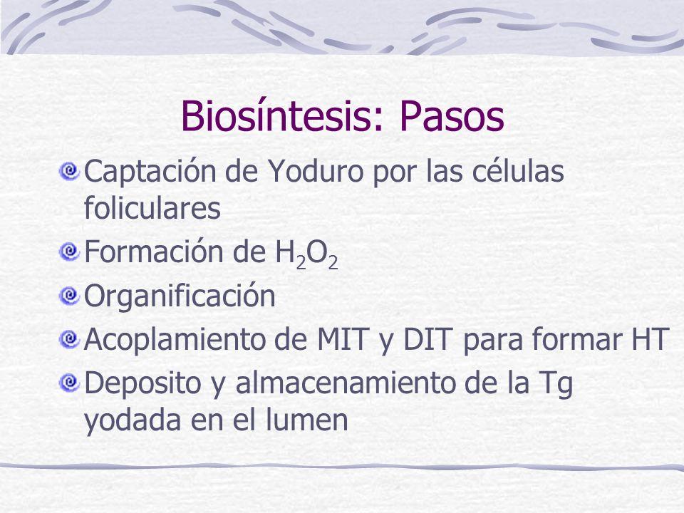 Biosíntesis: Pasos Captación de Yoduro por las células foliculares Formación de H 2 O 2 Organificación Acoplamiento de MIT y DIT para formar HT Deposi