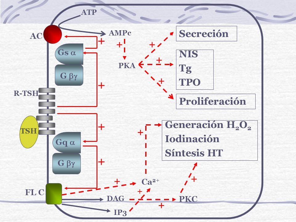 Ubicación de los sitios hormonogenéticos en la Tg Sitios Aceptores (1)Características del sitio dador Sitios Dadores (2) Tirosina 5 (exón 2)Se produce el 40% de la T4 Tirosina 130 (exón 4) Tirosina 1291 (exón 18)Sitios de formación T4Tirosina 847 (exón 10) Tirosina 2254 (exón 44)Sitios de formación T4Tirosina 1448 (exón 21) Tirosina 2747 (exón 48)Sitios de formación T3 1: La tirosina aceptora aporta el anillo interno de la hormona.