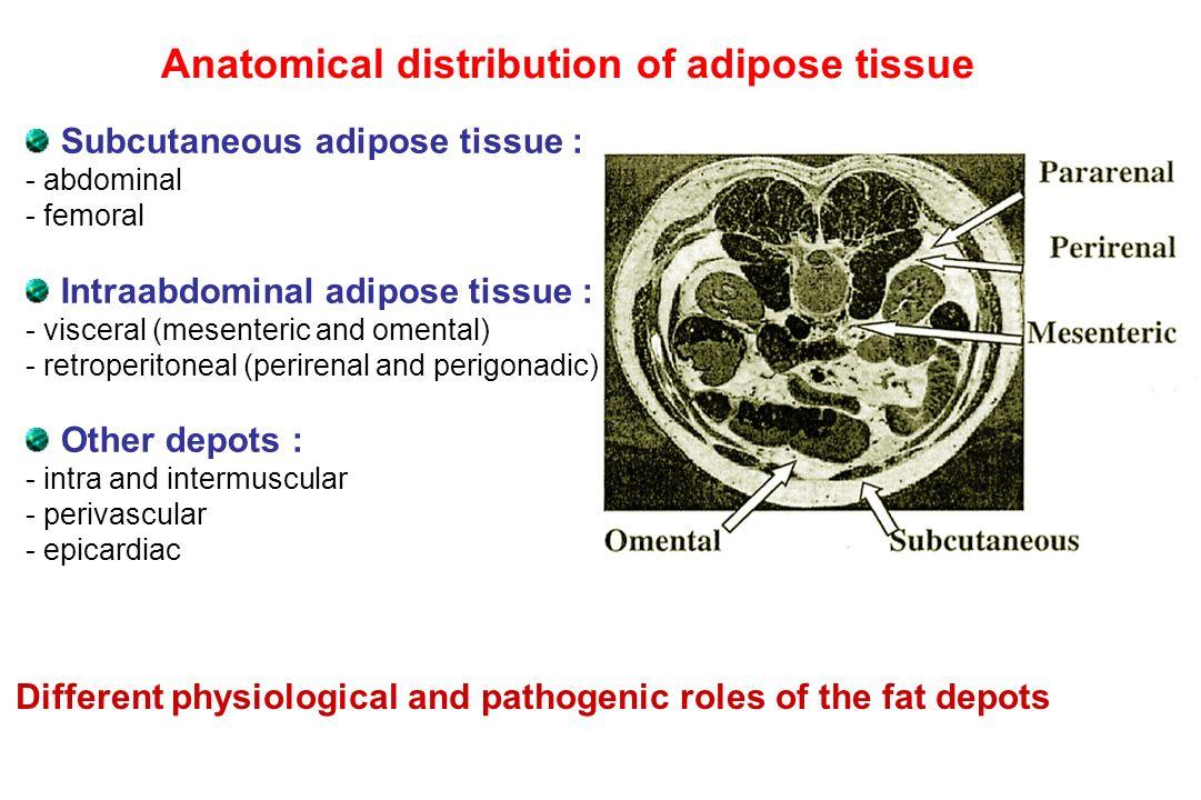 Subcutaneous adipose tissue : - abdominal - femoral Intraabdominal adipose tissue : - visceral (mesenteric and omental) - retroperitoneal (perirenal a