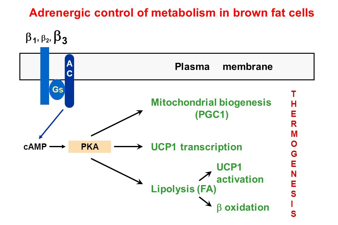 1, 2, 3 cAMPPKA ACAC Gs Plasma membrane Mitochondrial biogenesis (PGC1) UCP1 transcription Lipolysis (FA) UCP1 activation oxidation THERMOGENESISTHERM