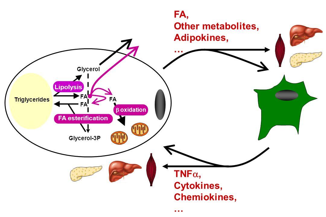 FA, Other metabolites, Adipokines, … TNF, Cytokines, Chemiokines, … FA Glycerol-3P FA Glycerol FA oxidation Lipolysis FA esterification Triglycerides