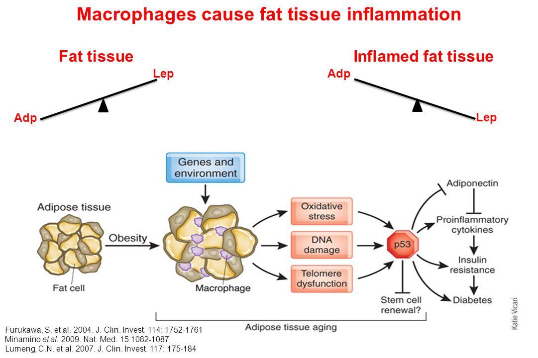 Macrophages cause fat tissue inflammation Furukawa, S. et al. 2004. J. Clin. Invest. 114: 1752-1761 Minamino et al. 2009. Nat. Med. 15:1082-1087 Lumen