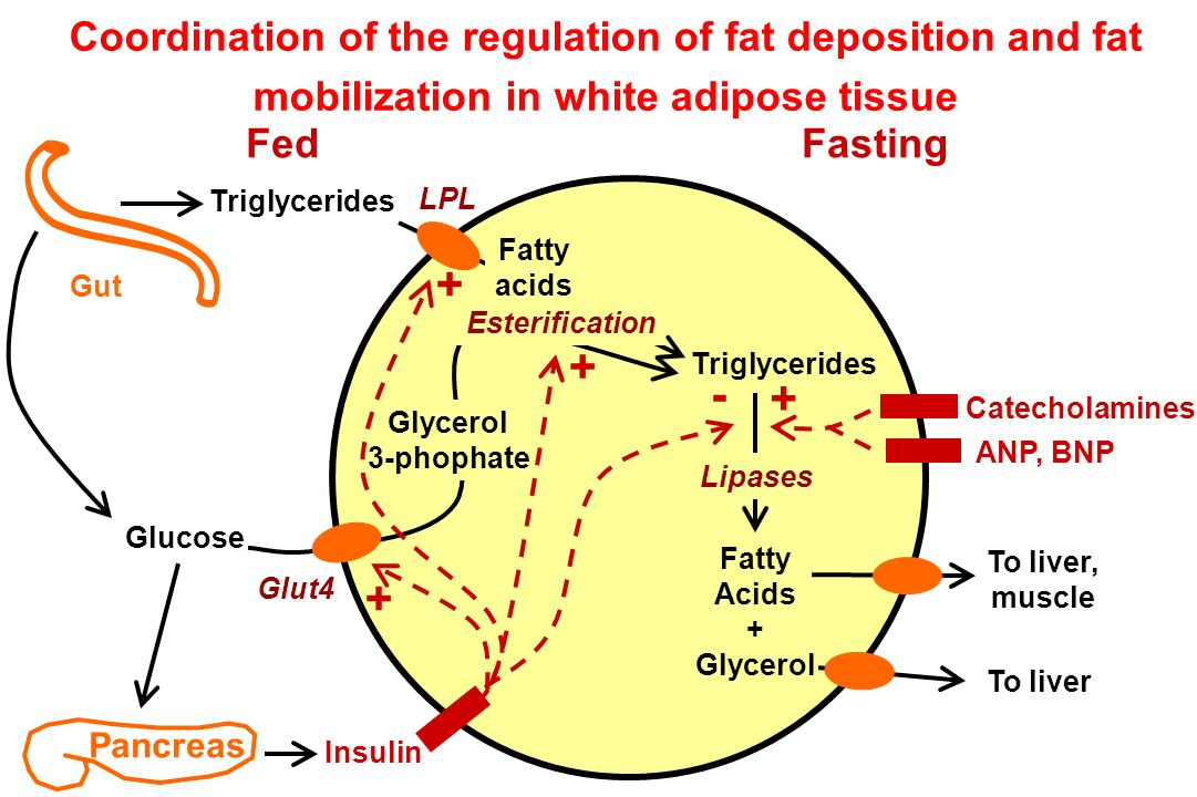 Pancreas FedFasting Gut Triglycerides Coordination of the regulation of fat deposition and fat mobilization in white adipose tissue Triglycerides LPL