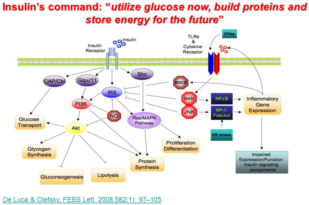 De Luca & Olefsky, FEBS Lett. 2008,582(1): 97–105 Insulins command: utilize glucose now, build proteins and store energy for the future