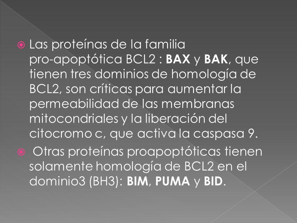 Las proteínas de la familia pro-apoptótica BCL2 : BAX y BAK, que tienen tres dominios de homología de BCL2, son críticas para aumentar la permeabilida