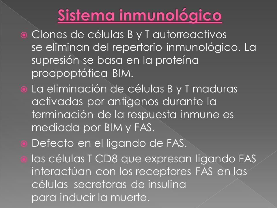 Clones de células B y T autorreactivos se eliminan del repertorio inmunológico. La supresión se basa en la proteína proapoptótica BIM. La eliminación