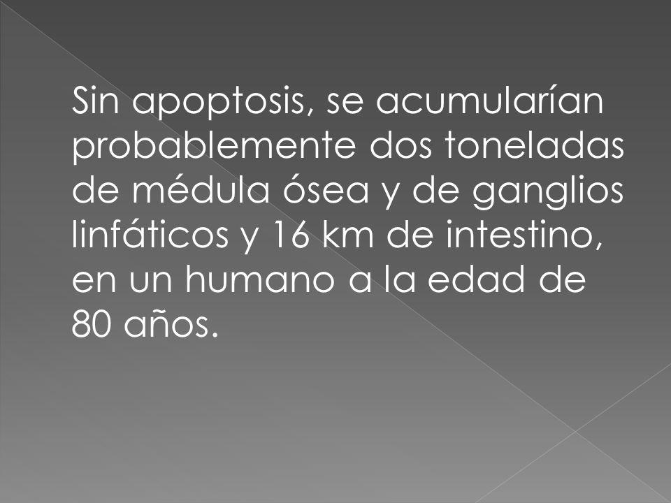 Sin apoptosis, se acumularían probablemente dos toneladas de médula ósea y de ganglios linfáticos y 16 km de intestino, en un humano a la edad de 80 a