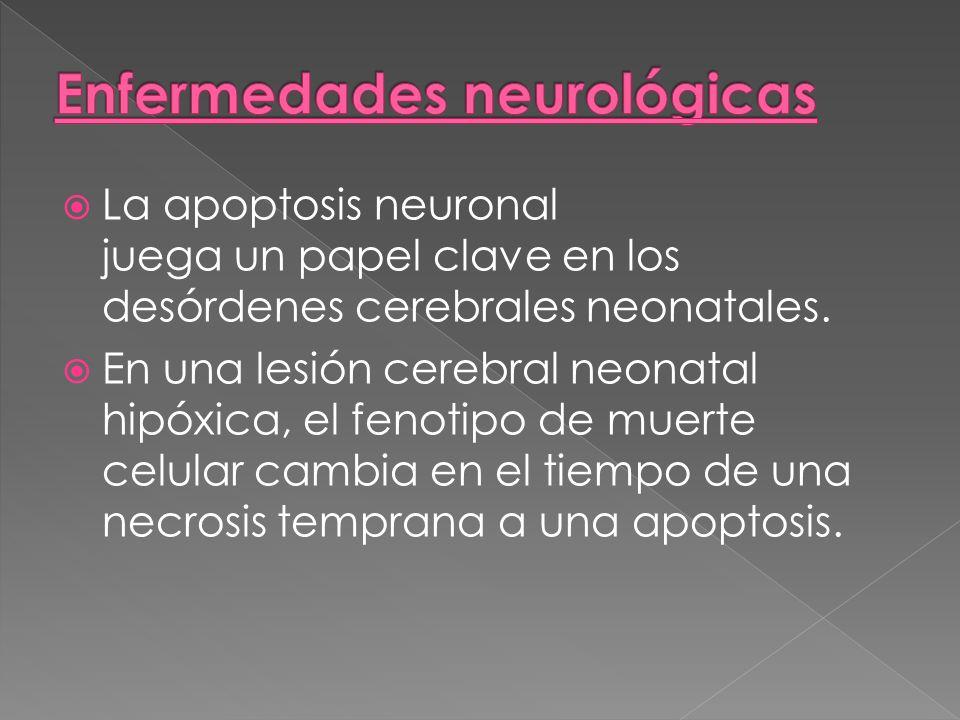 La apoptosis neuronal juega un papel clave en los desórdenes cerebrales neonatales. En una lesión cerebral neonatal hipóxica, el fenotipo de muerte ce
