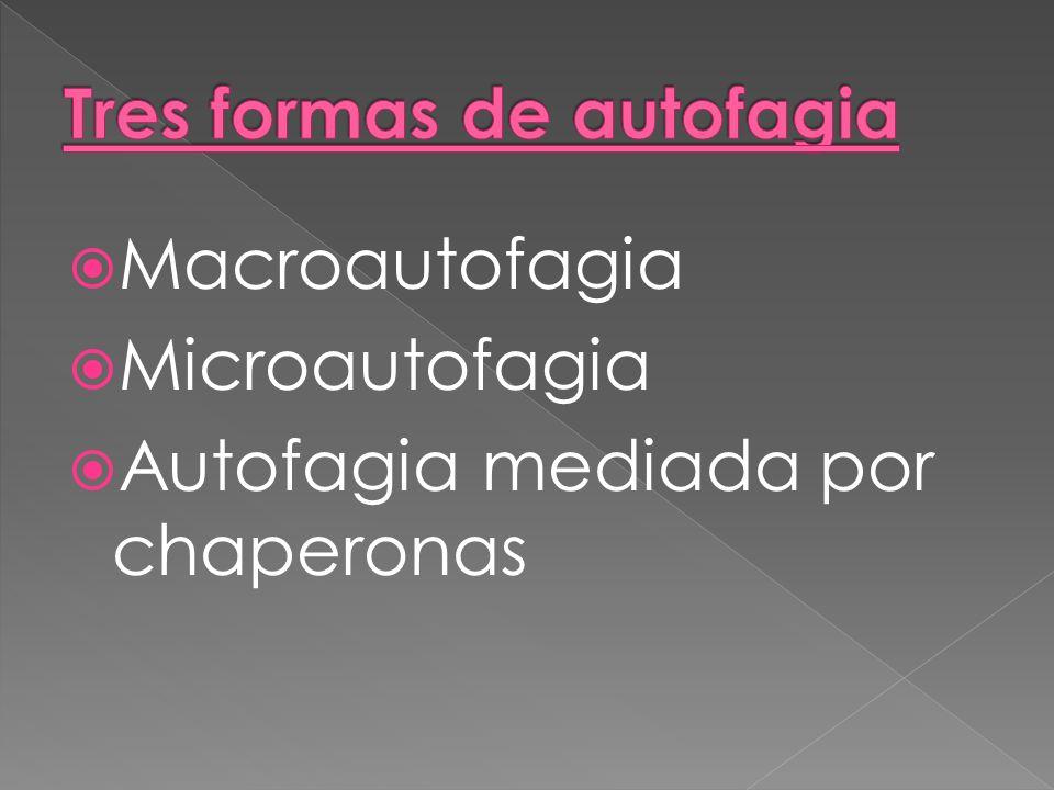 Macroautofagia Microautofagia Autofagia mediada por chaperonas