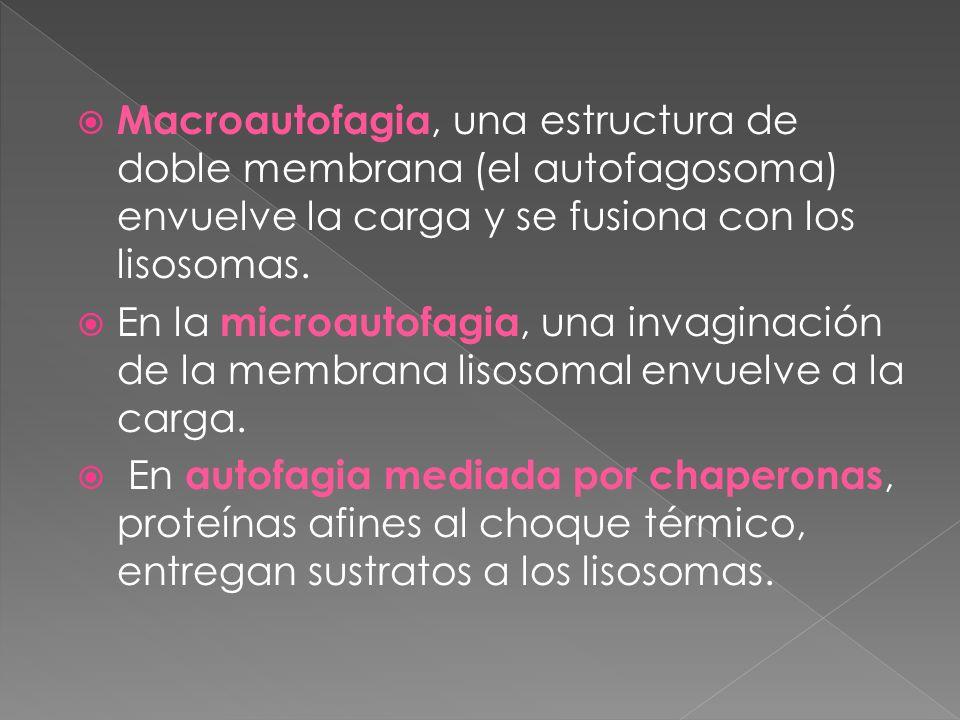 Macroautofagia, una estructura de doble membrana (el autofagosoma) envuelve la carga y se fusiona con los lisosomas. En la microautofagia, una invagin