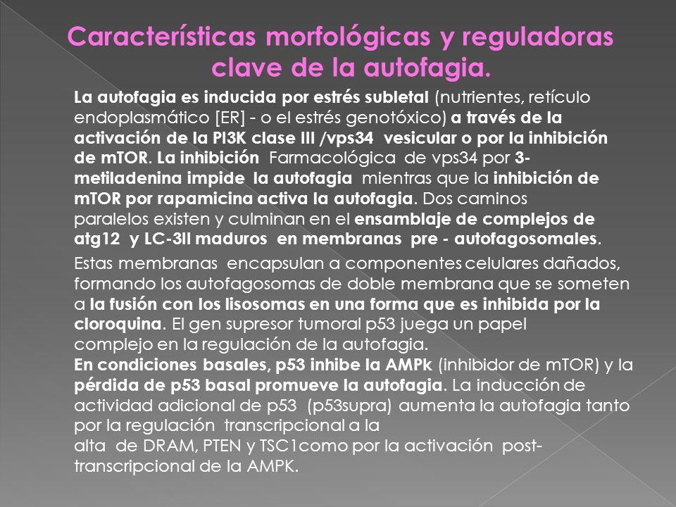 Características morfológicas y reguladoras clave de la autofagia. La autofagia es inducida por estrés subletal (nutrientes, retículo endoplasmático [E