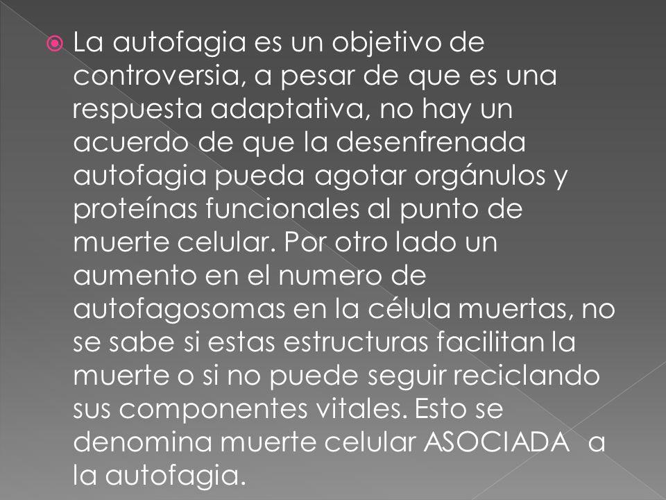 La autofagia es un objetivo de controversia, a pesar de que es una respuesta adaptativa, no hay un acuerdo de que la desenfrenada autofagia pueda agot