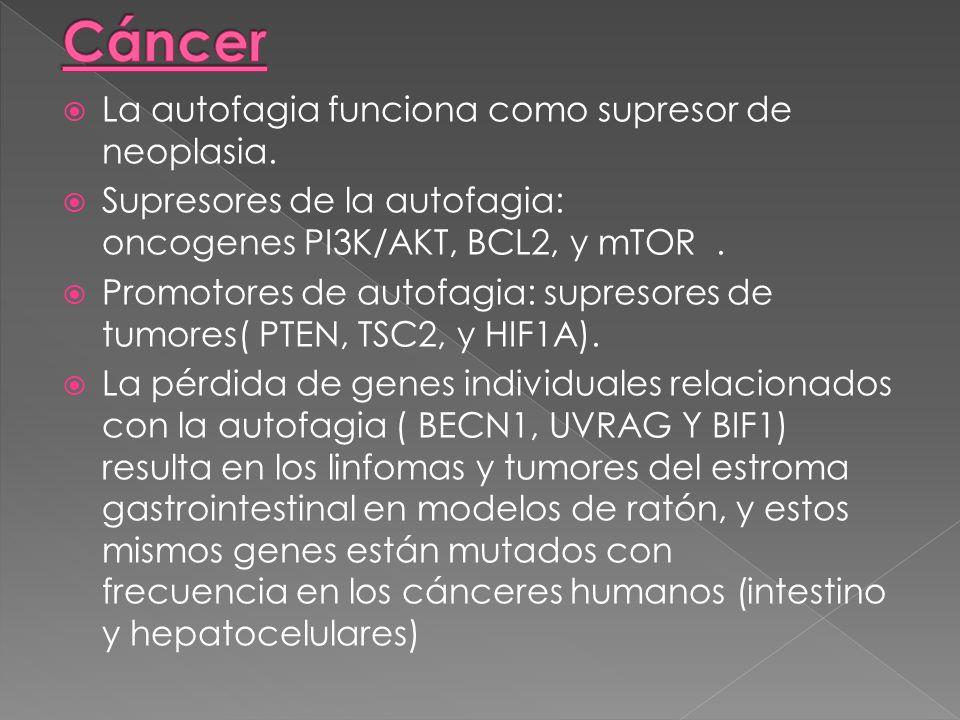 La autofagia funciona como supresor de neoplasia. Supresores de la autofagia: oncogenes PI3K/AKT, BCL2, y mTOR. Promotores de autofagia: supresores de