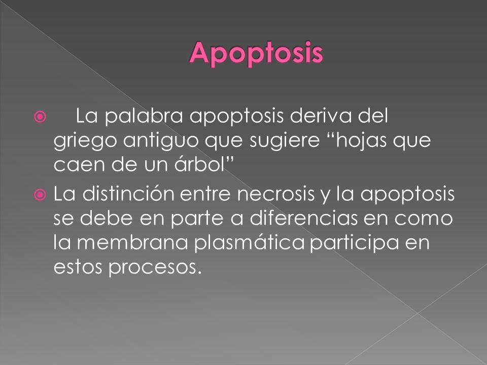 La palabra apoptosis deriva del griego antiguo que sugiere hojas que caen de un árbol La distinción entre necrosis y la apoptosis se debe en parte a d